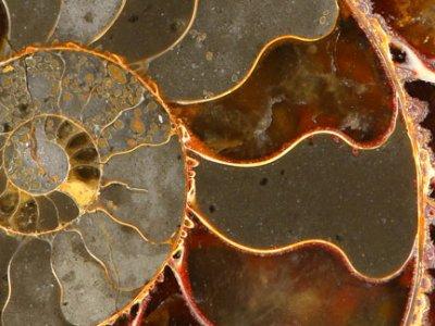 epsilon-ammolite